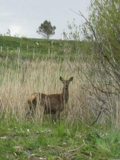 deer sightings are common,here's one in the back garden at 11.am.usually evenings are the best