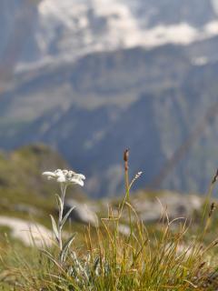 Les edelweiss sont très nombreuses dans les alpages