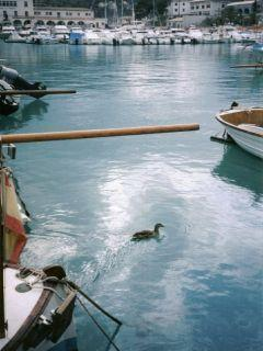 Duck gliding between boats at Port