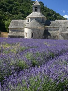 Lavender fields in May-June