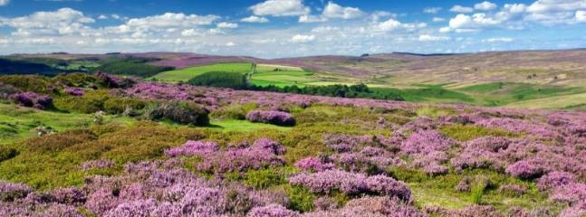 Heather in bloom in the National Park