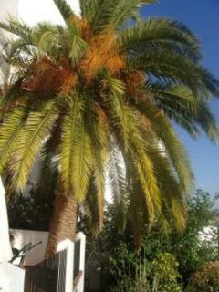 20 year old Canarian palm tree on terrace