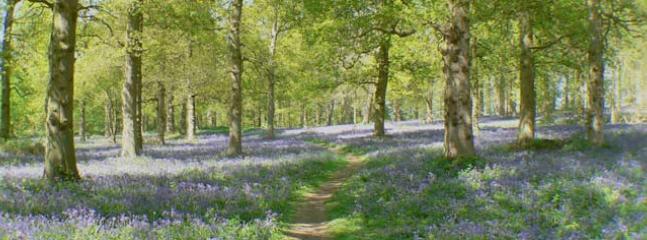Bluebell Wood, Blickling