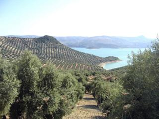Ancient olive groves surrounding CASA AVA