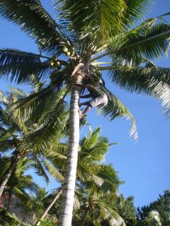..climbing for a fresh coconut drink