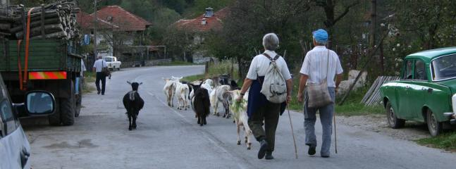 Goats on their way back down from pasture