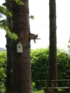 red squirrel feeding on tree 20 yards away!