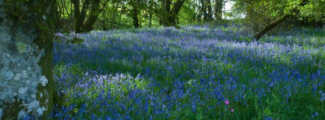 Carpets of bluebells adorn the woodland at Orroland in Spring