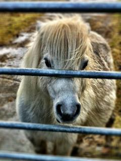 Meet the neighbours - there's a small herd of friendly (and greedy!) ponies in the field nearby