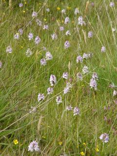 Wild orchids, Askernish, South Uist