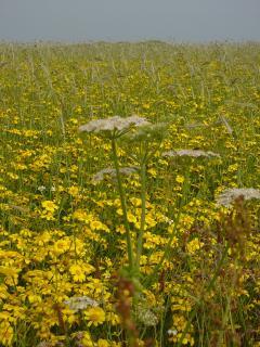 Askernish: Machair flowers