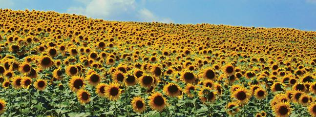A magnificant nearby field of sunflowers in full bloom-absolutely amazing!