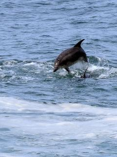 Dolphin off St. Ives.