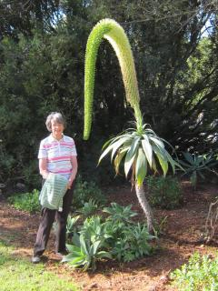 it's a swan necked agave in the garden with Helen nearby!