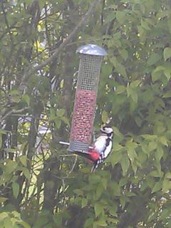 Enjoy wildlife?  This photo of a greater spotted woodpecker was taken from the living room.