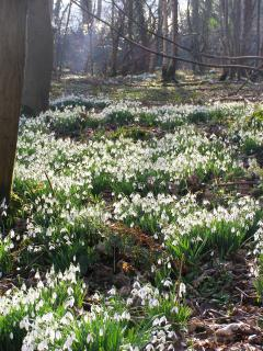 Snowdrops in the woods next to Rose Cottage