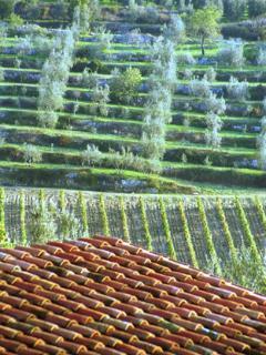 tetto - vigna - olive