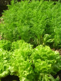 salads in the kitchen garden of Villa Sebina