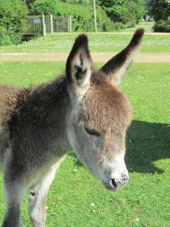 The baby donkeys have arrived in the New Forest