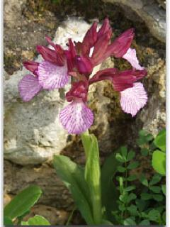 The Heroic Butterfly Orchid