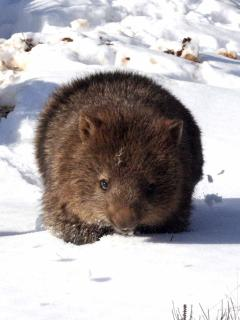 Wombat in the snow