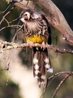 Yellow Wattle Bird