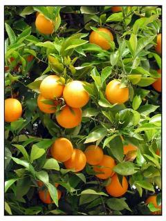 Orange groves abound