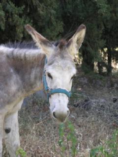 myrtle the donkey
