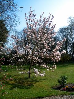 Magnolia en fleurs au jardin