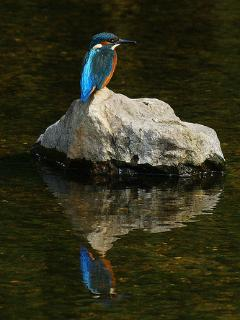 King Fisher on the Aude