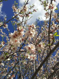 almond blossoms in february