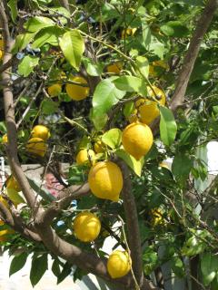 If you come at the right time, we have a lemon tree. Great for Gin and Tonics.