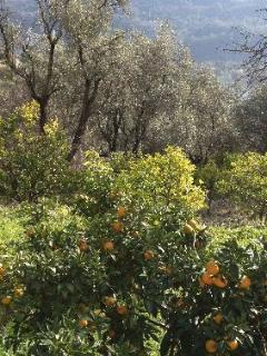 Views of the garden and orange trees