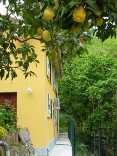 citronier dans le jardin