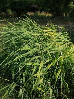 Reeds in reed bed