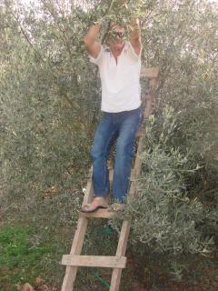 harvesting white bungalow olives