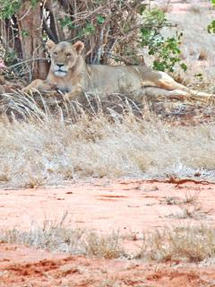 Lionness at Tsavo