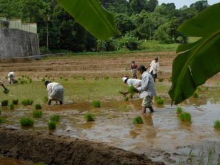 Villagers planting rice while chanting Buddhist prayers