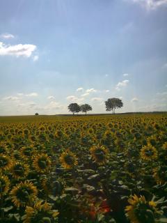 Sunflowers at La Roche