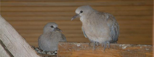 Baby Tourterelles - Nesting under the eaves