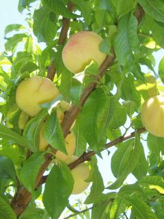 A taste of summer - juicy peaches from our own trees