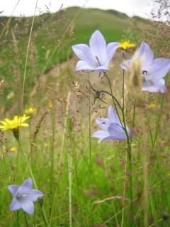 Scottish Bluebells.