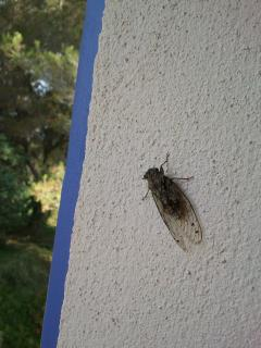 Typical cicada on the window