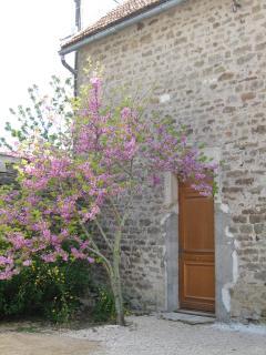 entrée sous un arbre de Judée en fleurs
