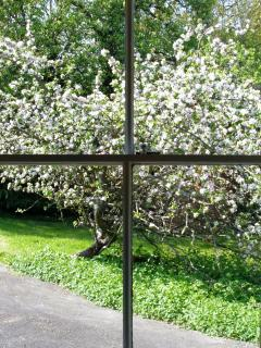 View of Bramley apple blossom from the kitchen