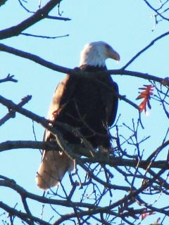 You just might catch a Bald Eagle sitting on a limb overlooking the water