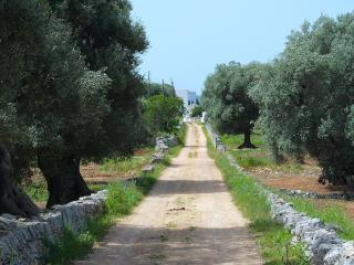 The road to the masseria is lined with centenarian olive trees