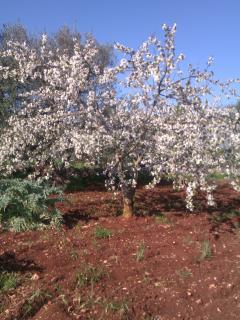 capi con alberi di ciliegi