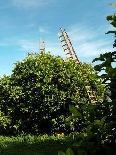 un 'piccolo' albero di limoni... il nostro pane quotidiano