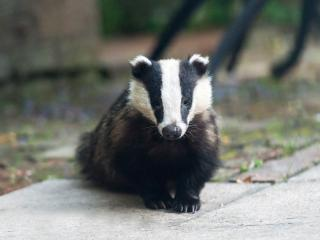 One of the badgers on the patio. Photo taken by one of our guests!